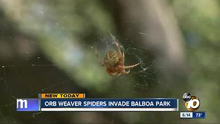 Orb Weaver spiders invade Balboa Park - Video