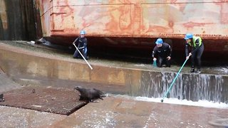 Seal Family Rescued From Dry Dock On Busy Shipyard