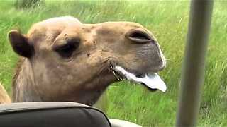 Spitting Camel chases jeep || Viral Video UK - Video