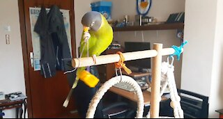 Clever parrot finds a sophisticated way to reach his toy