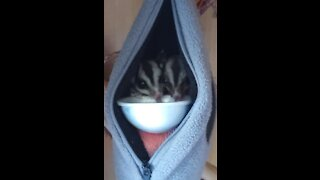 Sugar gliders adorably lap up sweet drink from a bowl