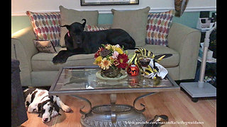 Visiting Great Dane makes herself right at home