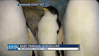 Milwaukee County Zoo announces birth of new Gentoo Penguin - Video