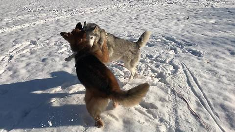 Husky & German Shepherd romp around in the snow
