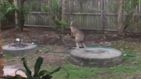 Kangaroo clears garden fence with ease