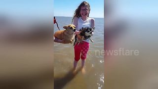 Watch two chihuahuas try air swimming on Lancashire beach for the first time
