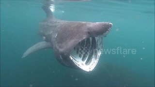 Watch a kayaker's incredible encounter with a large basking shark