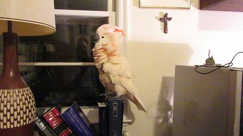 Cockatoo rocks out to classic Little Richard song