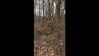 Protective Buck Guards His Lady Friend