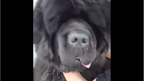 Newfoundland dog pulls off epic bear impersonation