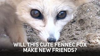 Can these petrified Fennec Foxes ever make new friends? - Video