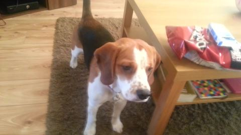 Beagle fetches multiple various items for gamer owner