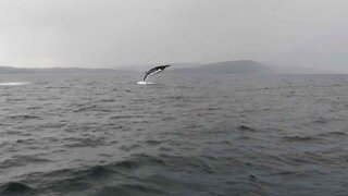 Boat passengers capture rare moment minke whale breaches 4 times off Isle of Skye