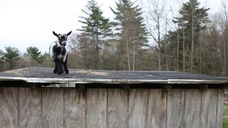 Young Goat Dances Joyfully on Rooftop - Video