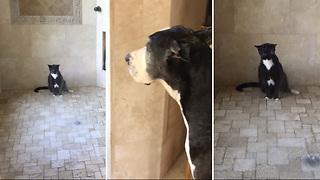 Patient Great Dane Waits For The Cat To Take A Shower - Video