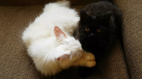 Kitten Grooms and Kisses his Sister Before Grooming Himself