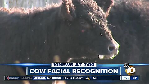 Facial recognition being used on cows?