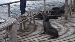 Territorial Sea Lion Chases Tourists Away Claiming Trespass