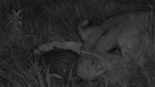 Pair Of Intrigued Lions Play With Ultra Rare Find Of Wild Pangolin