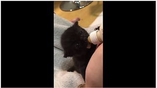 Newborn kitten preciously gets bottle fed