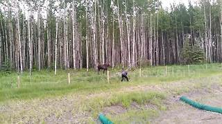 Good Samaritan Confronts Mother Moose To Rescue Calf Stuck In Fence - Video