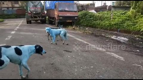 Stray dogs in India are turning blue because of pollution