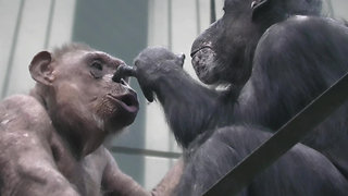 Chimpanzee decides to pick her mom's nose