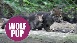 A pack of super cute wolf pups were caught on camera bounding around their new home