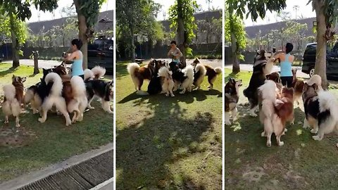 Woman caught in feeding frenzy whilst trying to feed seven Alaskan malamutes
