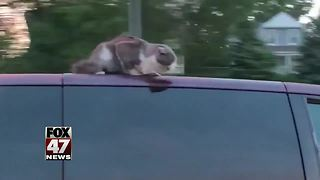 Cat rides on top of a car on a major interstate - Video