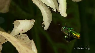 Bizarre orchid bee collects perfume from Ecuadorian flower