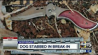 Dog stabbed in Scottsdale break-in - Video