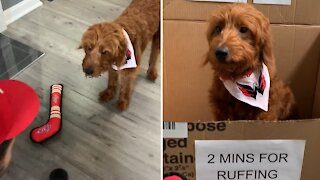 Hockey-loving puppy wants to try out for the Washington Capitals