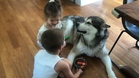 Alaskan Malamute shows how patient he can be with kids giving him pretend soup
