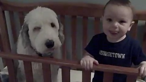 Big Dog Takes Nap With Toddler In The Crib