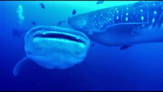 Scuba divers watch in awe as two whale sharks collide