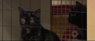 Adopt a cat for free at The Animal Foundation