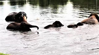 Majestic & happy elephants enjoy swim in river