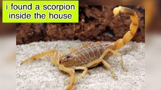 I found this scorpion at home.