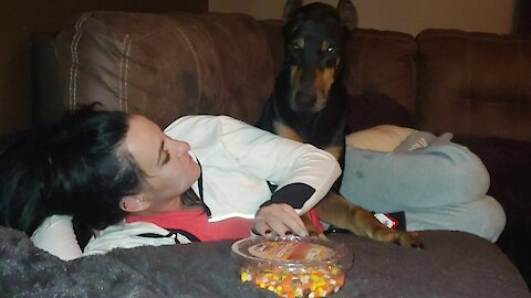 Doberman Throws Tantrum For Halloween Candy