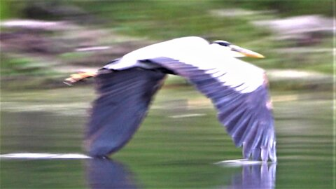 Great Blue Herons skim the surface of the lake as they fly in to land