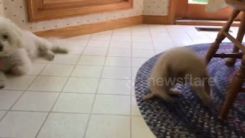 Agile kitty does perfect front flip as dog looks on nonchalantly