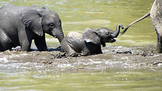 Cute Baby Elephant Stumbles through river crossing  - Video