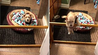 Adorable puppy clambers over fence to get to foster mum before bedtime
