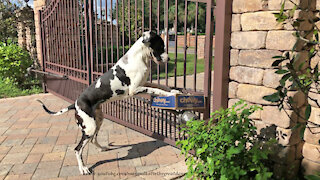 Hilarious Great Danes Have Fun Chewing Open Chewy Box