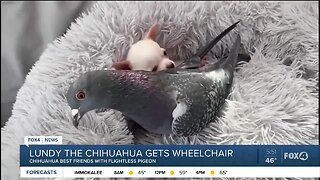 Chihuahua who can't walk gets wheelchair