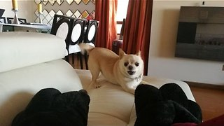Energetic Chihuahua Excitedly Chases Owner's Slippers - Video
