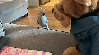 This parrot loves his bear so much that he can't stop kissing it