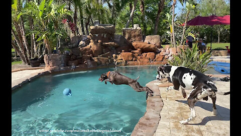 Great Dane watches GSP Pointer dive into new pool