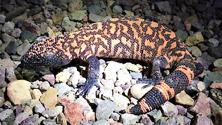 Gila monster sighting causes biologist to hyperventilate with excitement